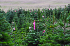 Tagged Christmas tree farm Stock Photos