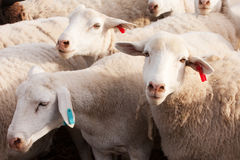 Tagged Dormer sheep in late afternoon Royalty Free Stock Images