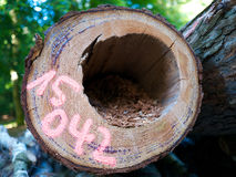 Tagged felling dead standing tree parasite vermin hole Stock Photography