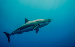 Tagged great white shark in the blue ocean. Tagged great white shark for conservation swimming in the blue Pacific Ocean  at Guadalupe Island in Mexico Stock Image