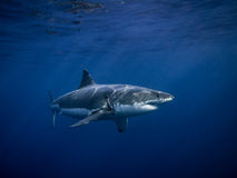 Tagged great white shark in the blue ocean under sun rays. Tagged Great white shark for conservation swimming under sun rays in the blue Pacific Ocean at Royalty Free Stock Photos