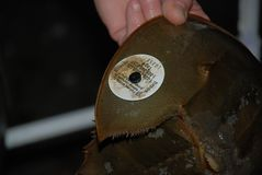 Tagged Horseshoe Crab identify particular crabs Royalty Free Stock Photography