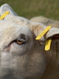 Tagged sheep Stock Images