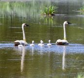 Tagged Trumpeter Swans and Cygnets  1. This is a Summer picture in which the two adults Trumpeter Swans are tagged and the cygnets are not in the Necedah royalty free stock image