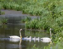 Tagged Trumpeter Swans and Cygnets  2. This is a Summer picture in which the two adult Trumpeter Swans are tagged and the cygnets are not in the Necedah National royalty free stock photos