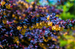 Taggig brun buske med gula blommor Arkivfoto