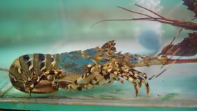 Taggig hummer i den till salu fiskbehållaren, ny skaldjur på marknadsstället stock video