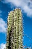 Taggig kaktus som växer på Aruba Arkivfoto