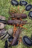 Taggig kräfta (hummer) och paua (abalone) Arkivbilder