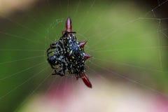 Taggig-orb-vävaren i natur är en banhoppningspindel arkivbild