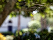 Taggig Orb Weaver Spider i rengöringsduk arkivbild