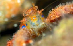 Taggig satt hummer Galatheidae Skottland royaltyfria bilder