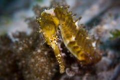 Taggig Seahorse - Hippocampushistrix Fotografering för Bildbyråer