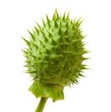 taggig seedpod för gurkajäkel s arkivfoton