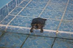 Taggig Softshell sköldpadda & x28; Apalone spinifera& x29; solbada på ett golv Arkivfoton