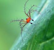 Taggig spindel på det gröna bladet Royaltyfri Foto