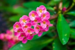 Taggig suckulent med rosa blomma Royaltyfri Bild