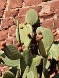 Taggiga päron för fikonträd Arkivfoto