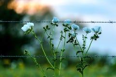 Taggiga vita Poppy Wildflowers i en Texas Pasture på solnedgången med staketet Fotografering för Bildbyråer