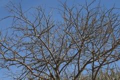 Taggigt lövfällande träd mot en blå himmel royaltyfria foton
