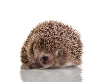 Taggigt litet djur för igelkott som isoleras på vit Fotografering för Bildbyråer