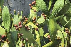 Taggigt päron för kaktus Royaltyfria Foton
