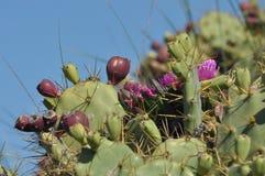 Taggigt päron, kaktus som blommar och bär frukt. Arkivbilder