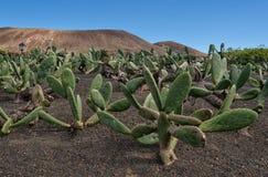 Taggigt päron, opuntiakaktusträdgård i Lanzarote fotografering för bildbyråer