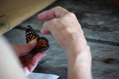Tagging Monarch butterflies Stock Photo