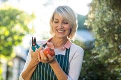 Tagli e pomodori femminili della potatura della tenuta del giardiniere Fotografie Stock
