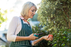 Tagli e pomodoro femminili della potatura della tenuta del giardiniere Fotografia Stock