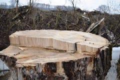 Tagli gli alberi Industria del legno Abbattimento e taglio delle foreste Rifornimento dei tronchi di albero immagine stock