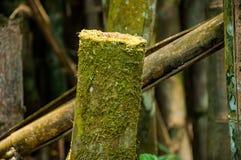 Tagli il bambù in foresta Fotografia Stock Libera da Diritti