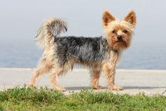 Tagli il piccolo cane in Sun fotografia stock