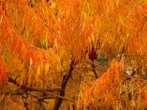 Tagli il sumac dello staghorn della foglia in autunno Immagini Stock Libere da Diritti