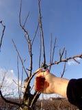 Tagli l'albero da frutto Fotografia Stock