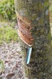 Tagli l'albero di gomma della corteccia di albero Immagini Stock Libere da Diritti