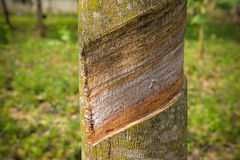 Tagli l'albero di gomma della corteccia di albero Immagine Stock