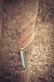 Tagli l'albero di gomma della corteccia di albero Fotografia Stock