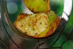 Tagli la mela con le mosche della frutta su un alimentatore dell'uccello immagini stock libere da diritti
