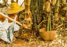Tagli sui germogli a pezzi di bambù Immagine Stock Libera da Diritti