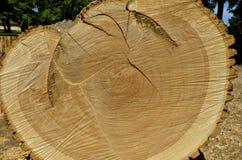 Tagli trasversalmente la sezione di un albero di cenere immagine stock