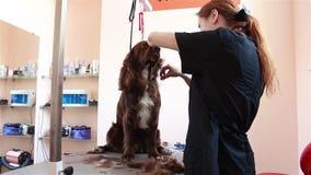 Taglia lo spaniel del groomer dei capelli stock footage