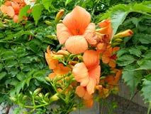 Tagliabuana 'Madame Galen', υβριδικό αναρριχητικό φυτό Ã- Campsis σαλπίγγων Στοκ Φωτογραφίες