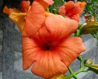 Tagliabuana 'Madame Galen', υβριδικό αναρριχητικό φυτό Ã- Campsis σαλπίγγων Στοκ Εικόνα