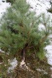 Taglio degli alberi di Natale fotografia stock libera da diritti