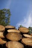 Taglio dei pini Fotografia Stock Libera da Diritti