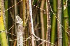 Taglio del bambù Fotografia Stock