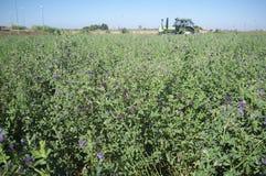 Taglio del trattore ed alfalfa falciante Immagine Stock Libera da Diritti