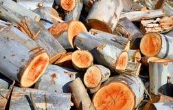 Taglio dell'albero di eucalyptus Fotografia Stock